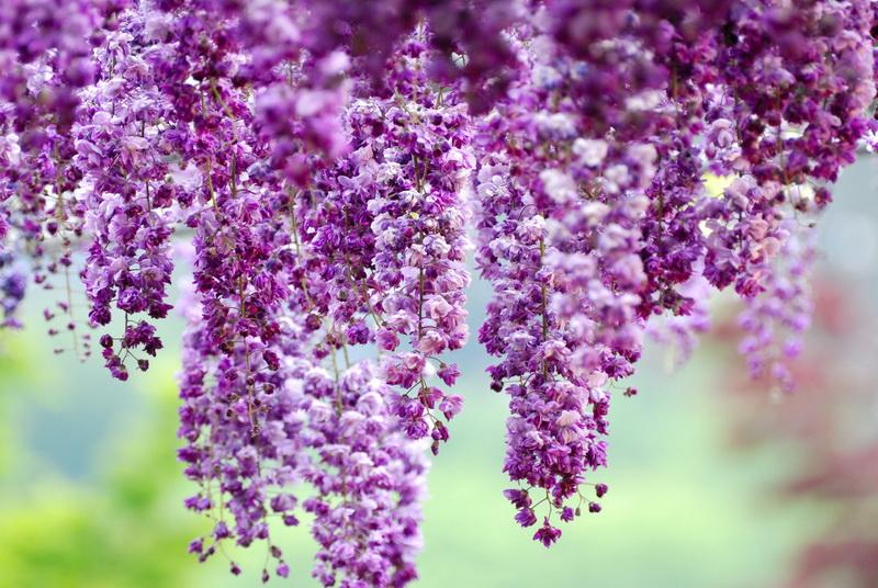 Асикага японии парк цветов в